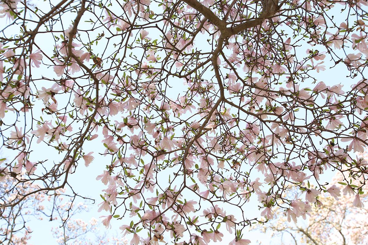 'Waterlily' star magnolia