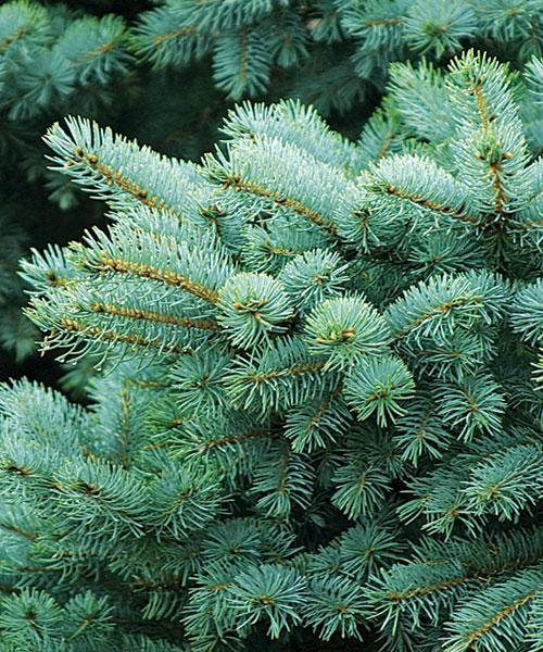 'Globosa' dwarf Colorado spruce
