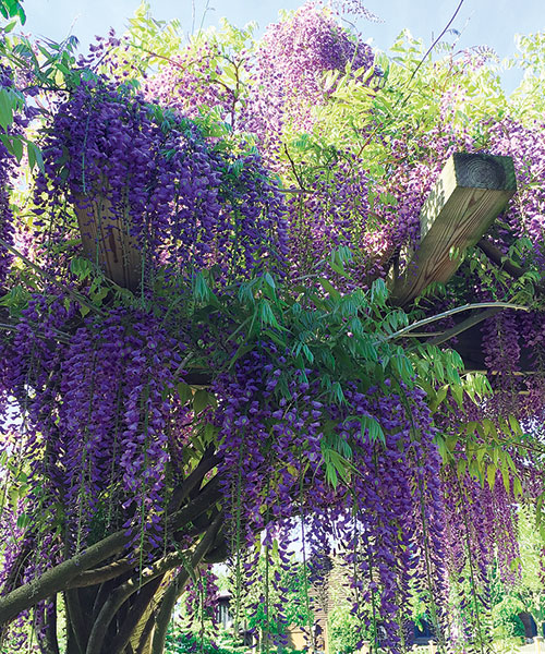 'Cooke's Purple' wisteria