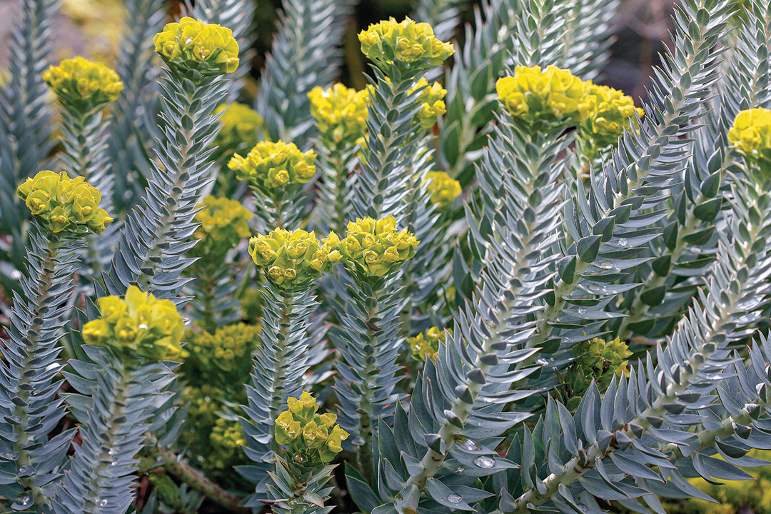 The Dos And Don Ts Of Pruning Euphorbia Finegardening