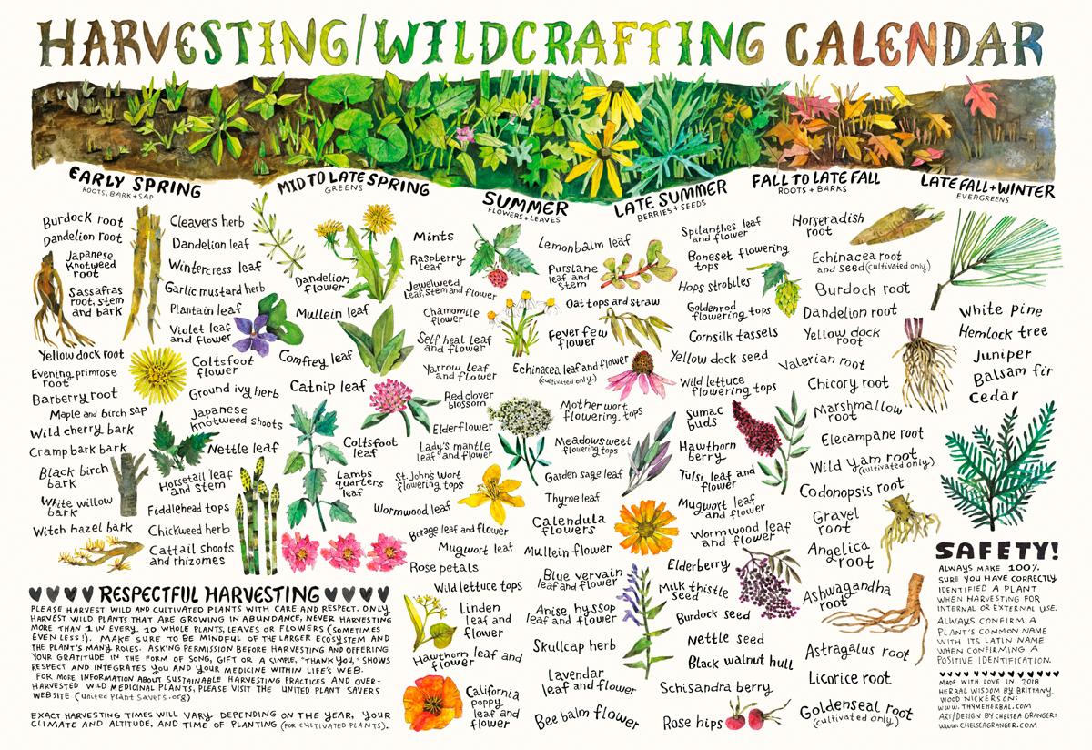 Harvesting Wild Edibles Calendar by Chelsea Granger