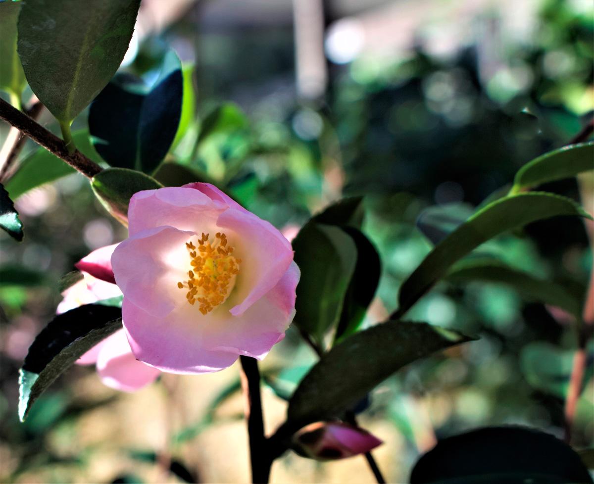 Fairy Blush camellia