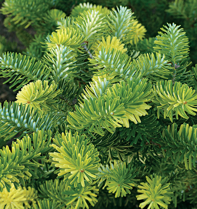 'Gelbbunt' Korean fir