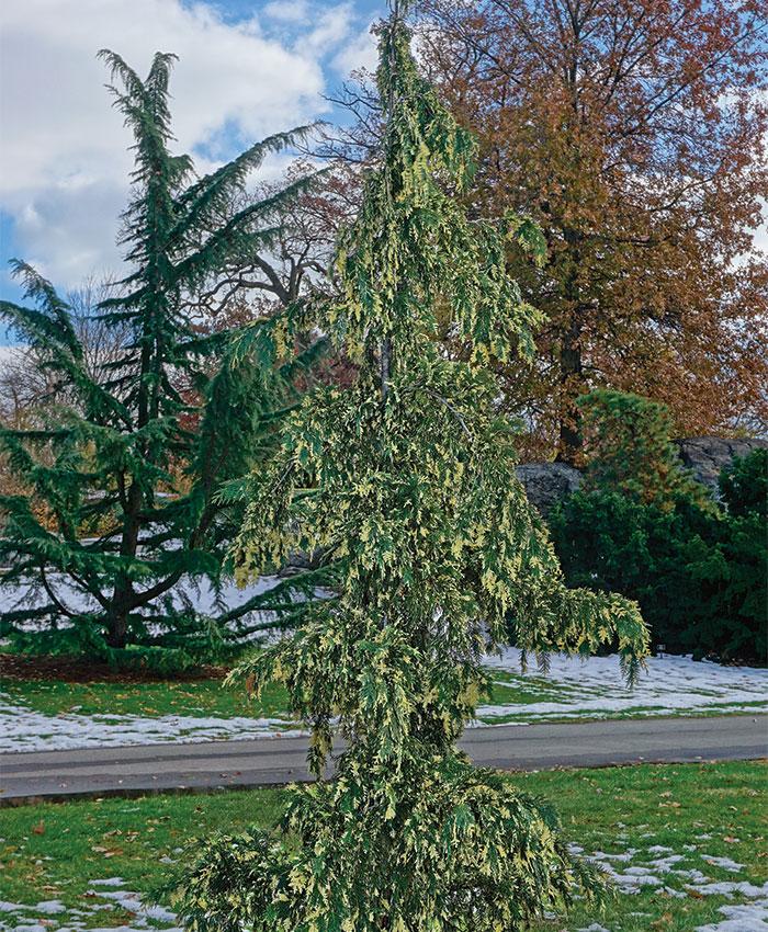 'Sparkling Arrow' Alaskan yellow cedar