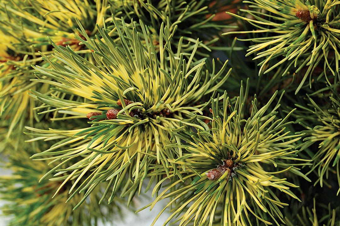 'Sunshine' mugo pine