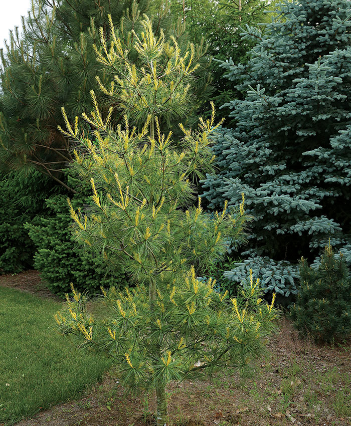 'Golden Candles' Eastern white pine