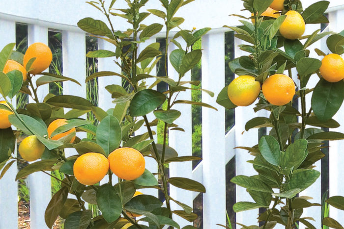 Great Citrus for Growing Indoors