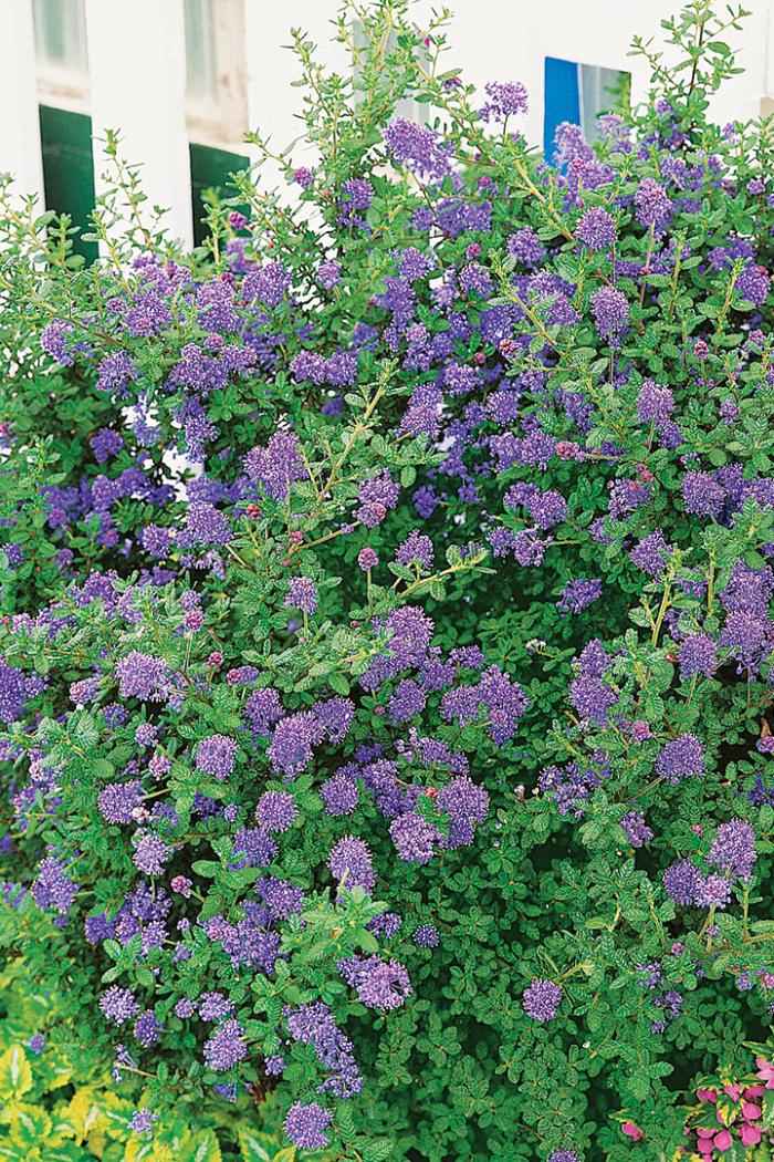 Julia Phelps California mountain lilac