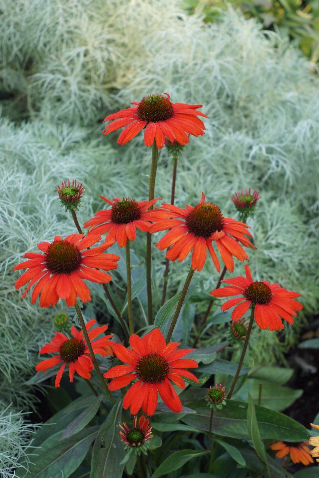 Echinacea 'Kismet Intense Orange'