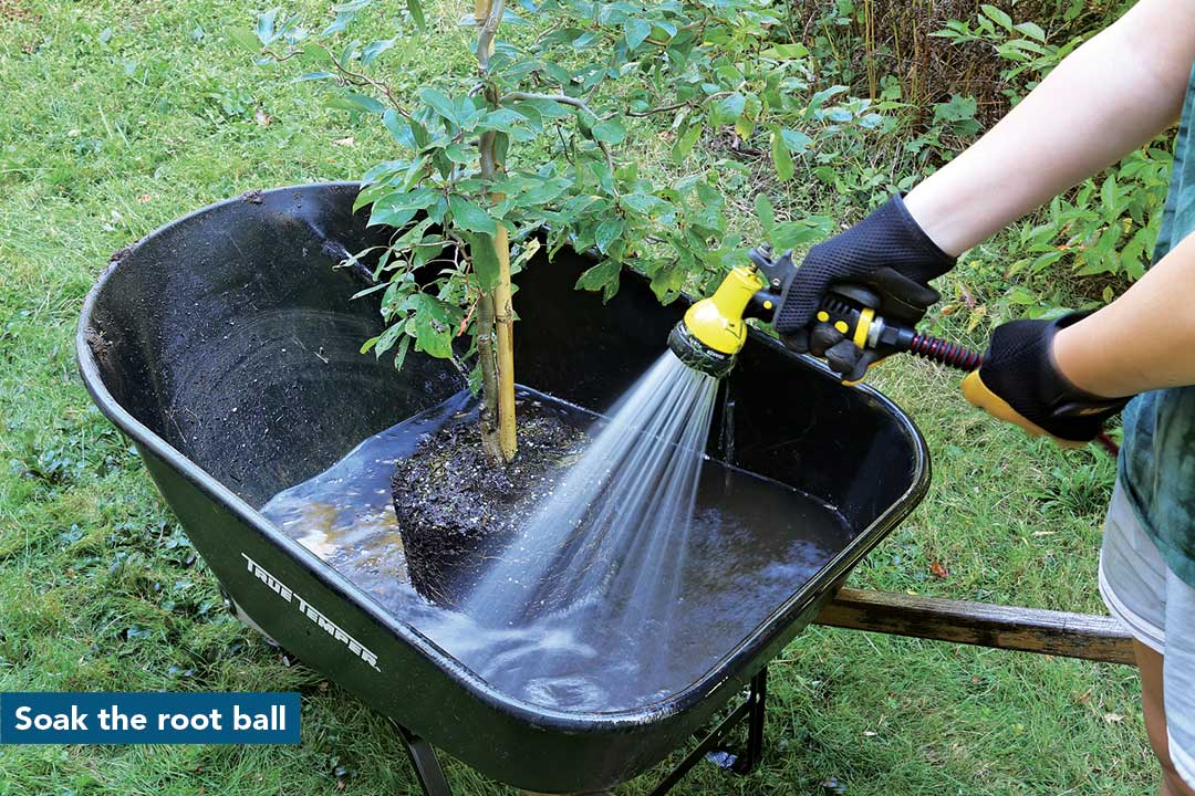 Soak the root ball