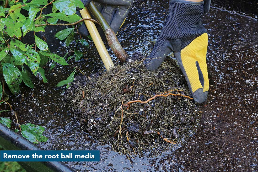 Remove the root ball media