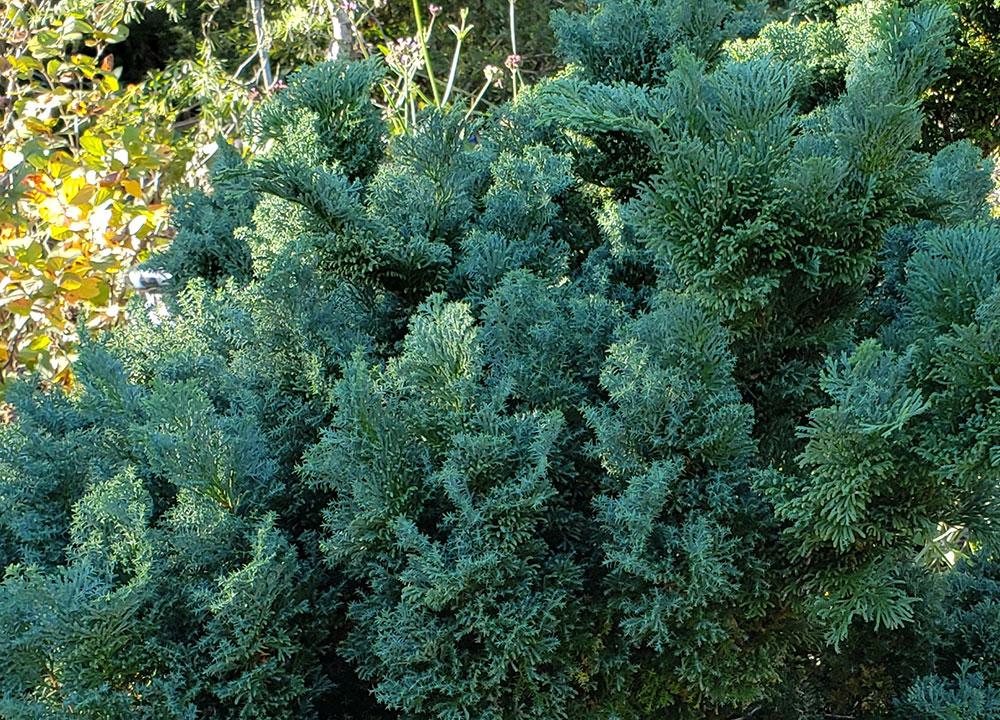 'Split Rock' hinoki cypress