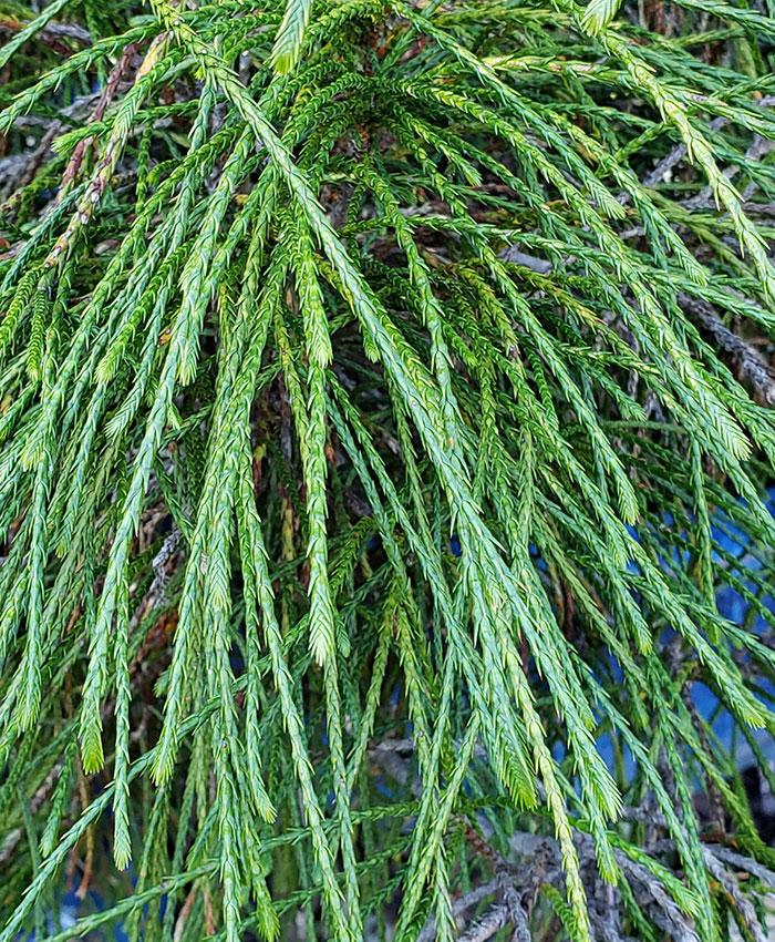 'Whipcord' Western cedar