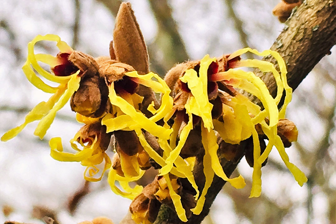 witch hazels in bloom