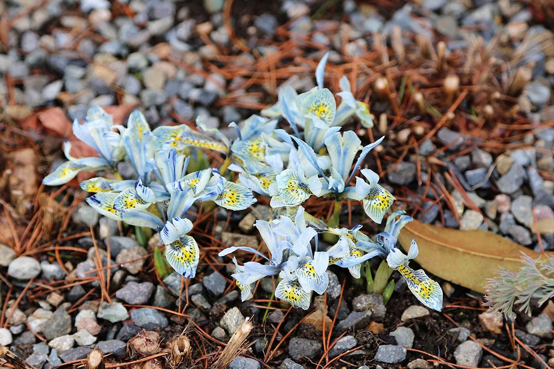 'Katharine Hodgkin' reticulata iris