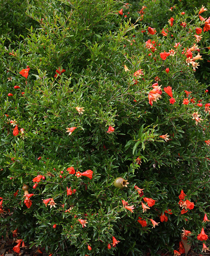 dwarf pomegranates