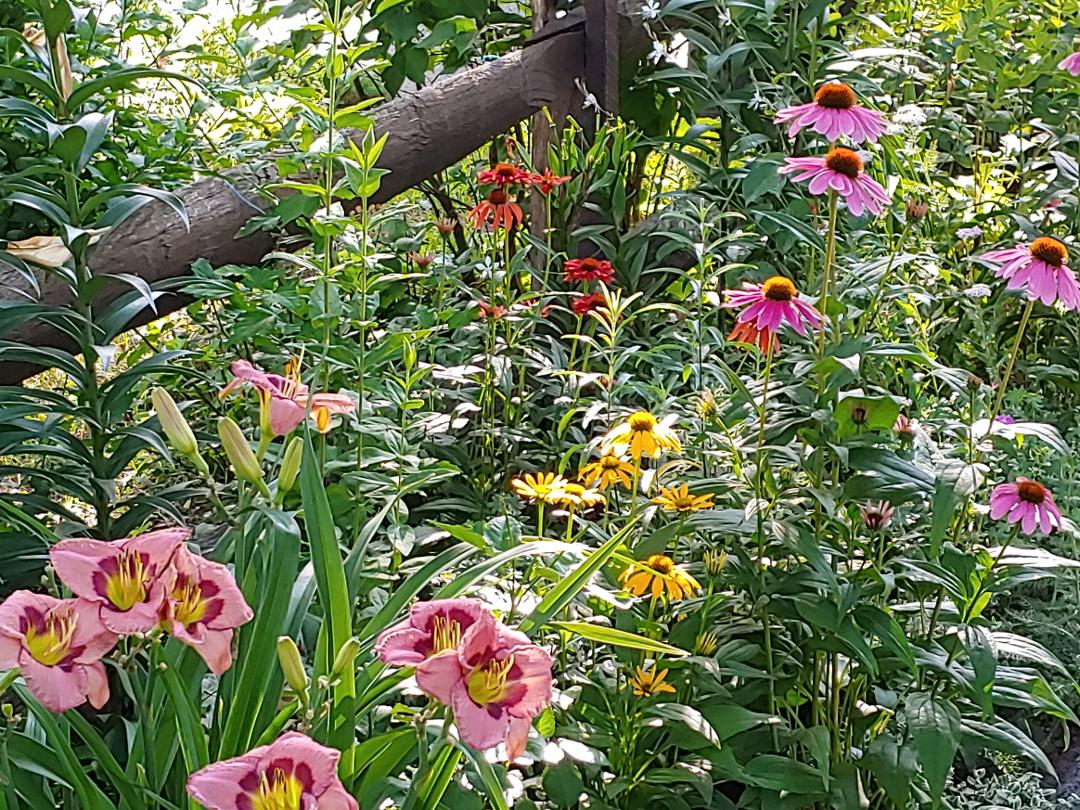pink daylily