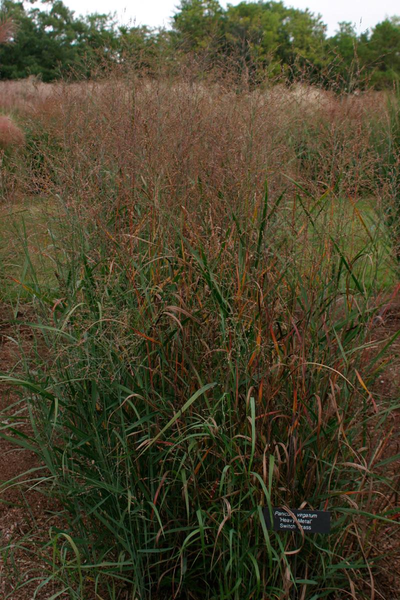 'Heavy Metal' switch grass