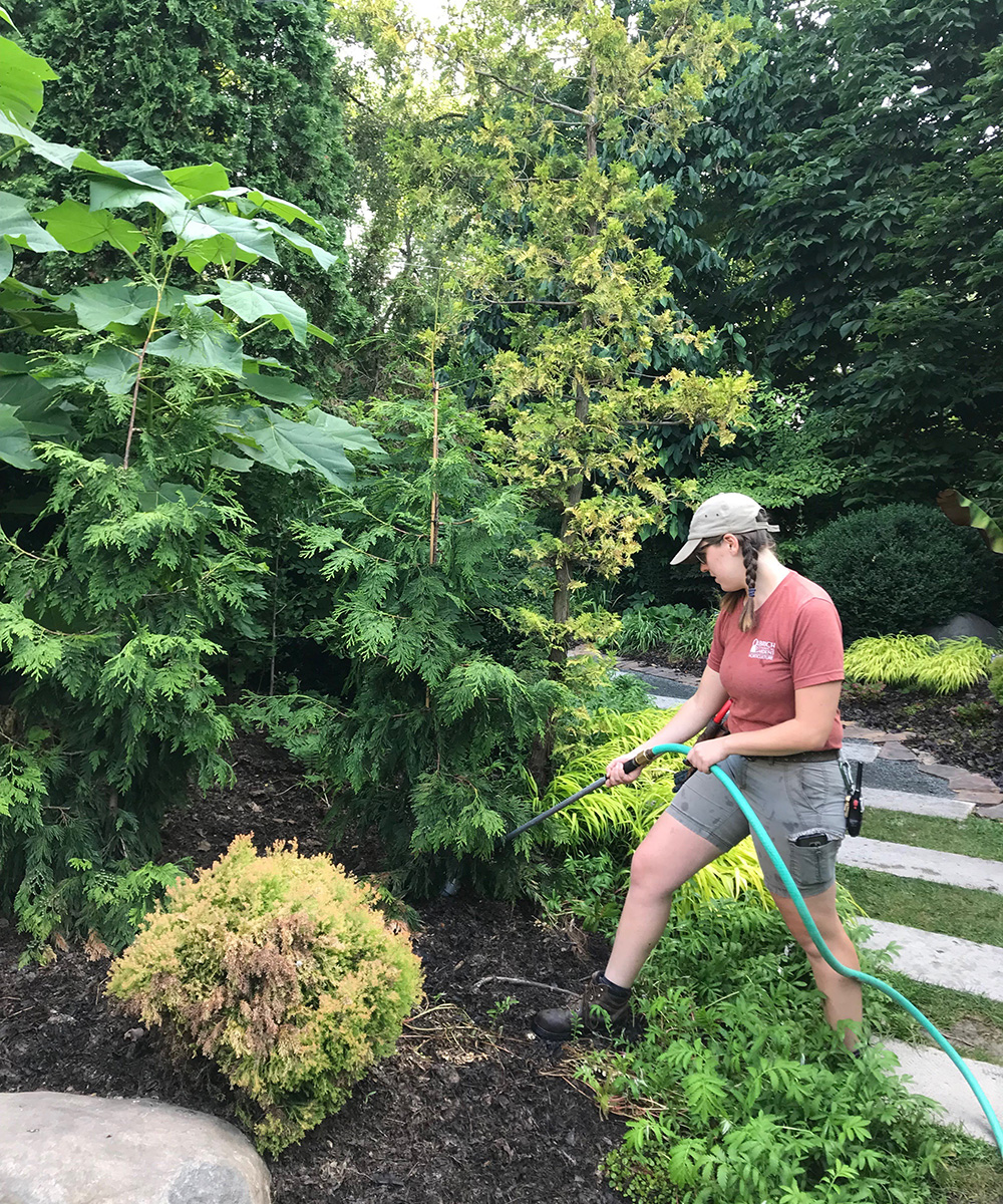 watering evergreens