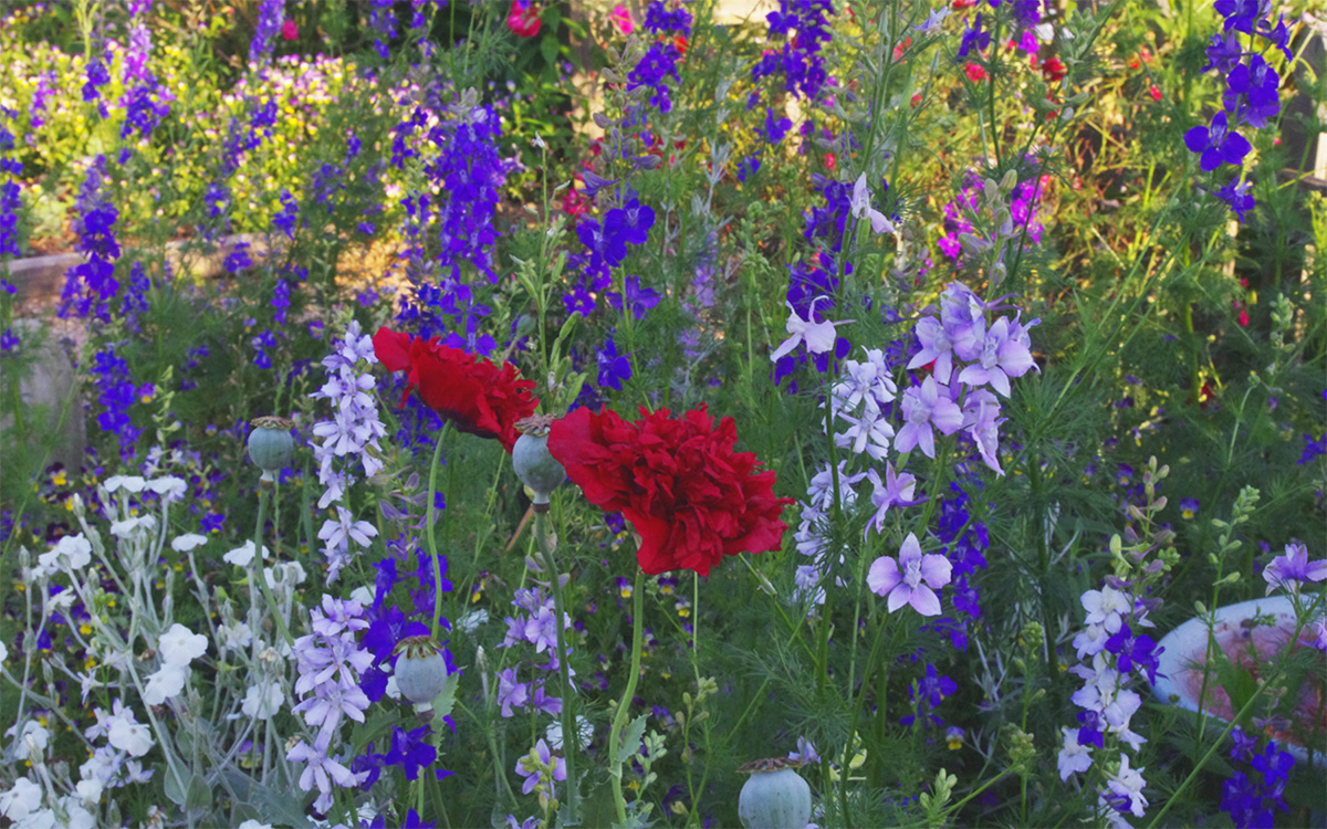 Annual larkspur and poppies