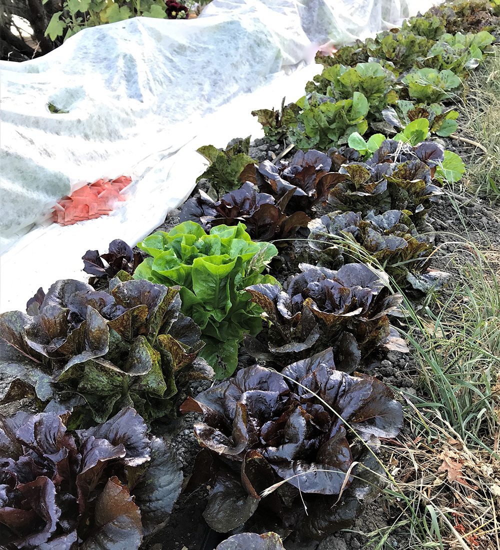 lettuce with cover