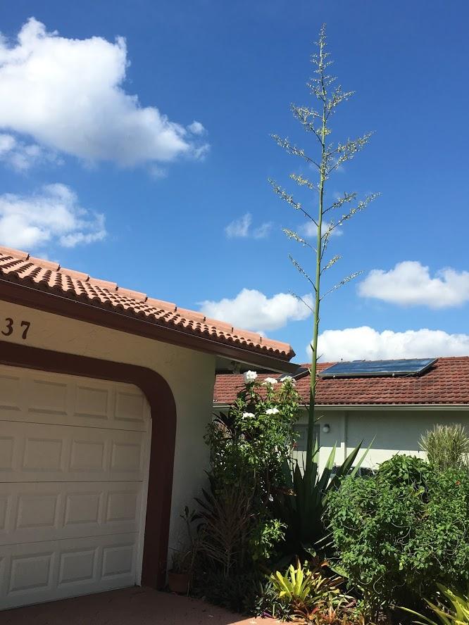 agave flower spike