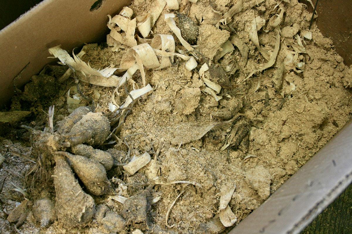 dahlias in sawdust