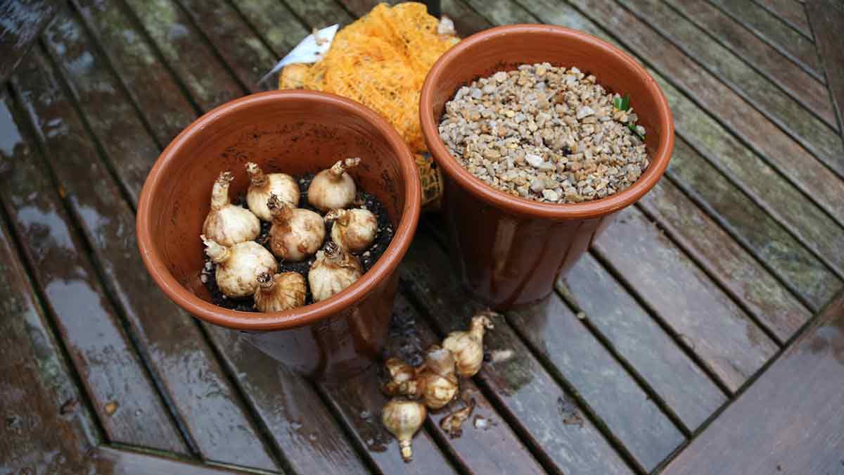 Forcing potting soil