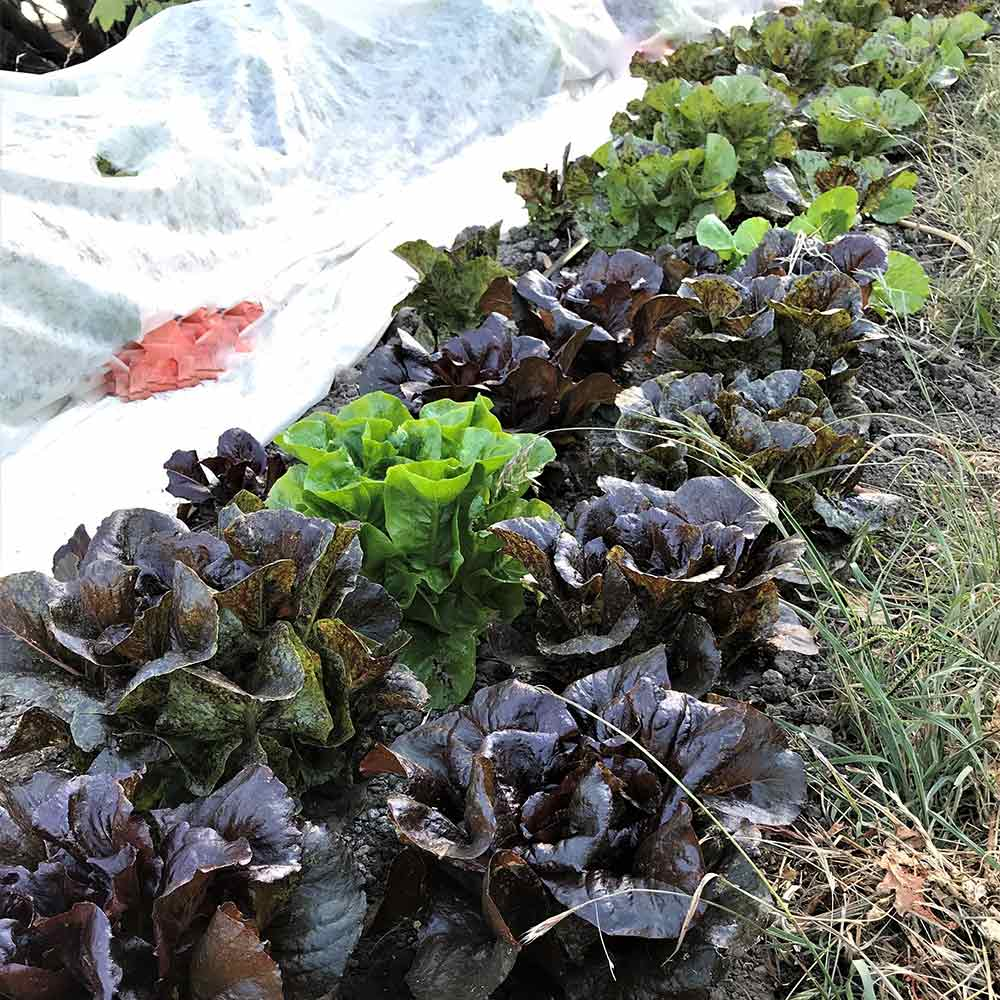 lettuce covered in frost cloth