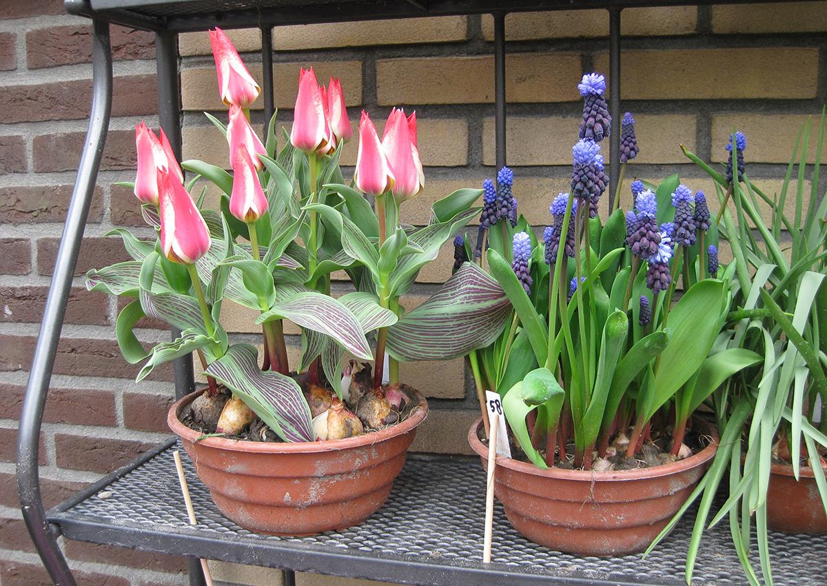 Spring-blooming bulbs