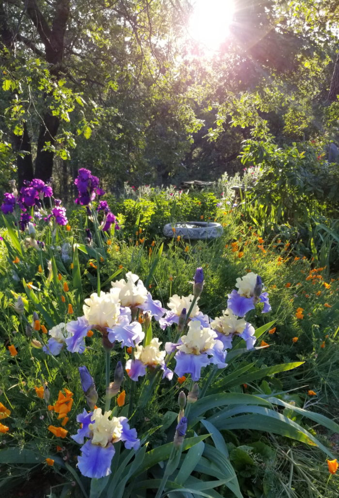 For The Love Of Irises Finegardening