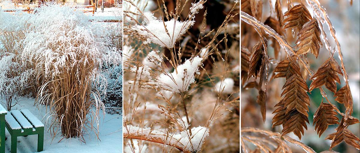 Dead grasses provide winter interest