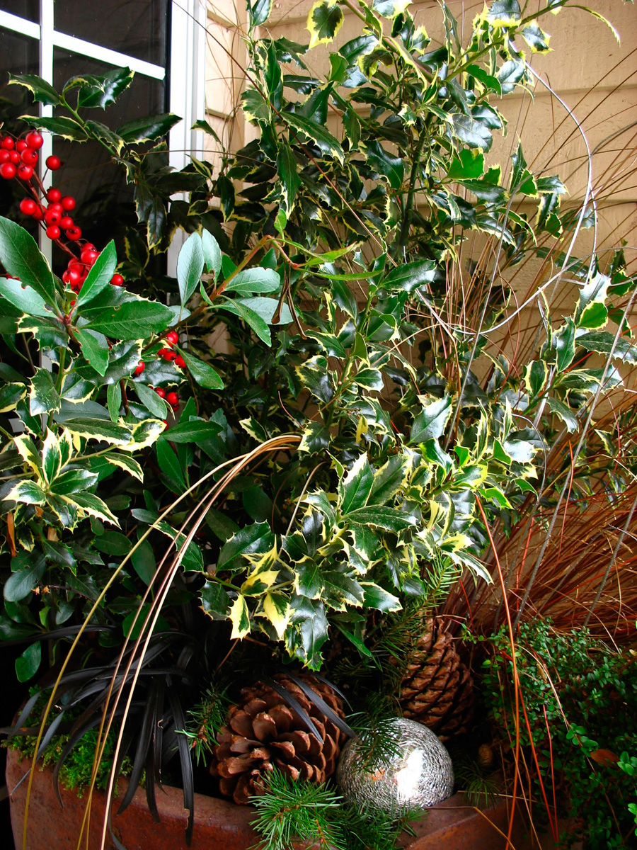 Bay laurel branches and variegated holly holiday container
