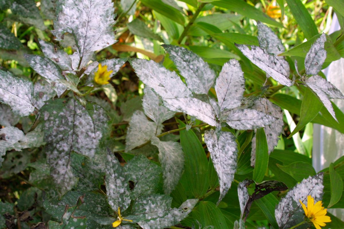 powdery mildew