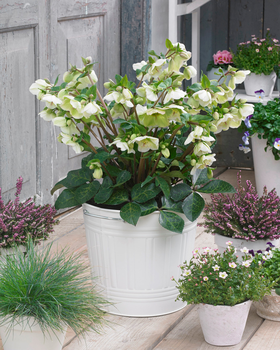 'Molly's White' hellebore