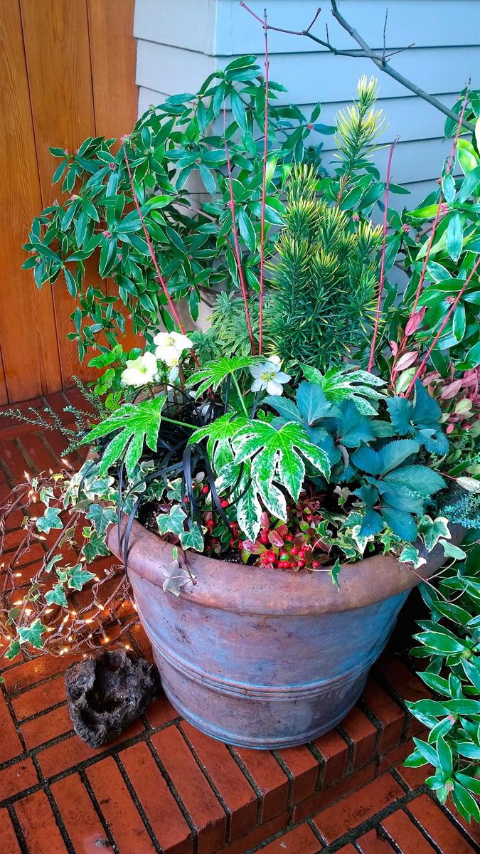 'Jacob' hellebore flowers