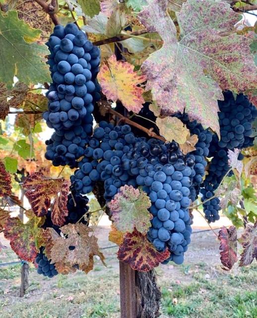 grape vineyard