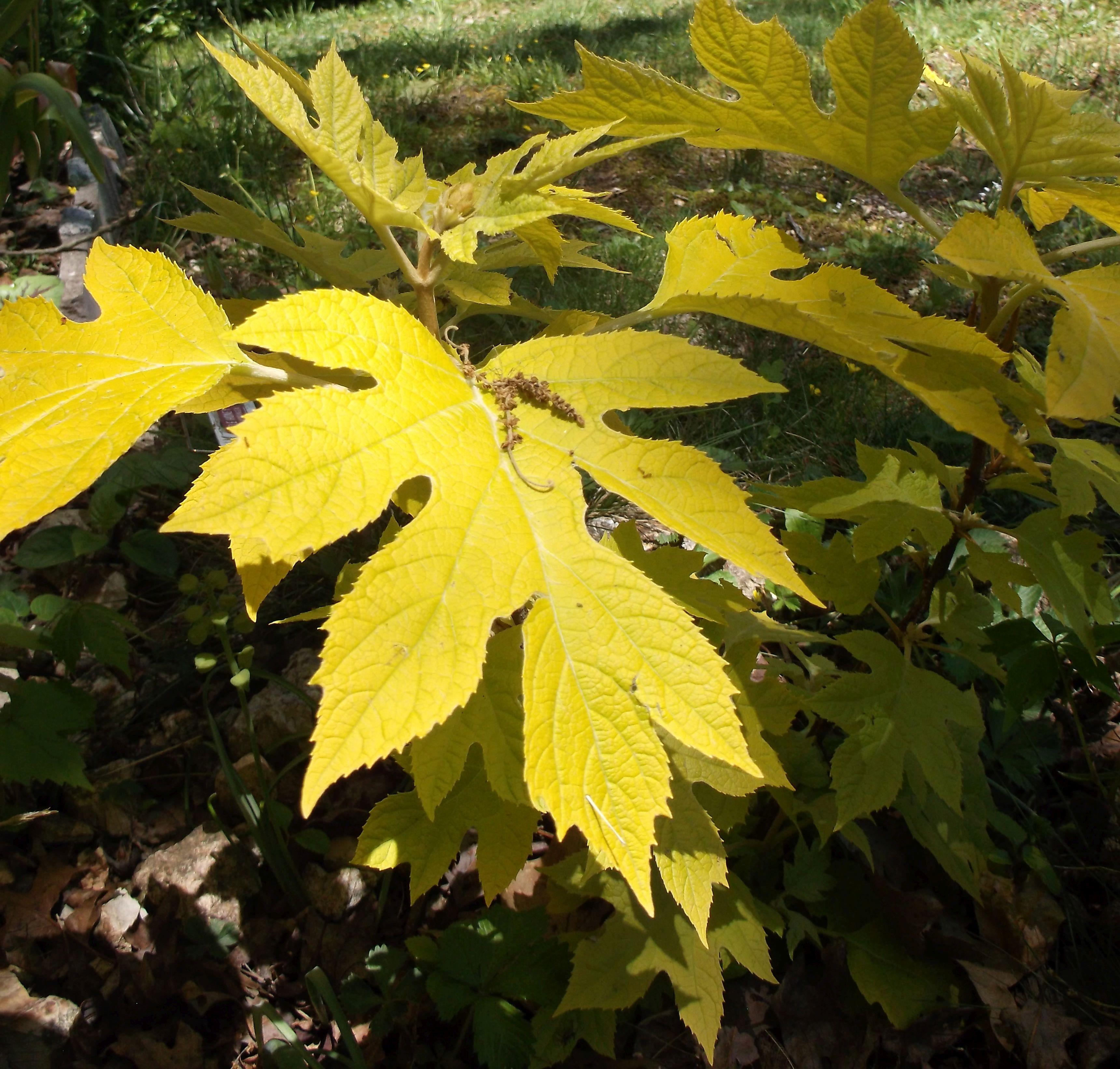 'Little Honey' oakleaf hydrangea