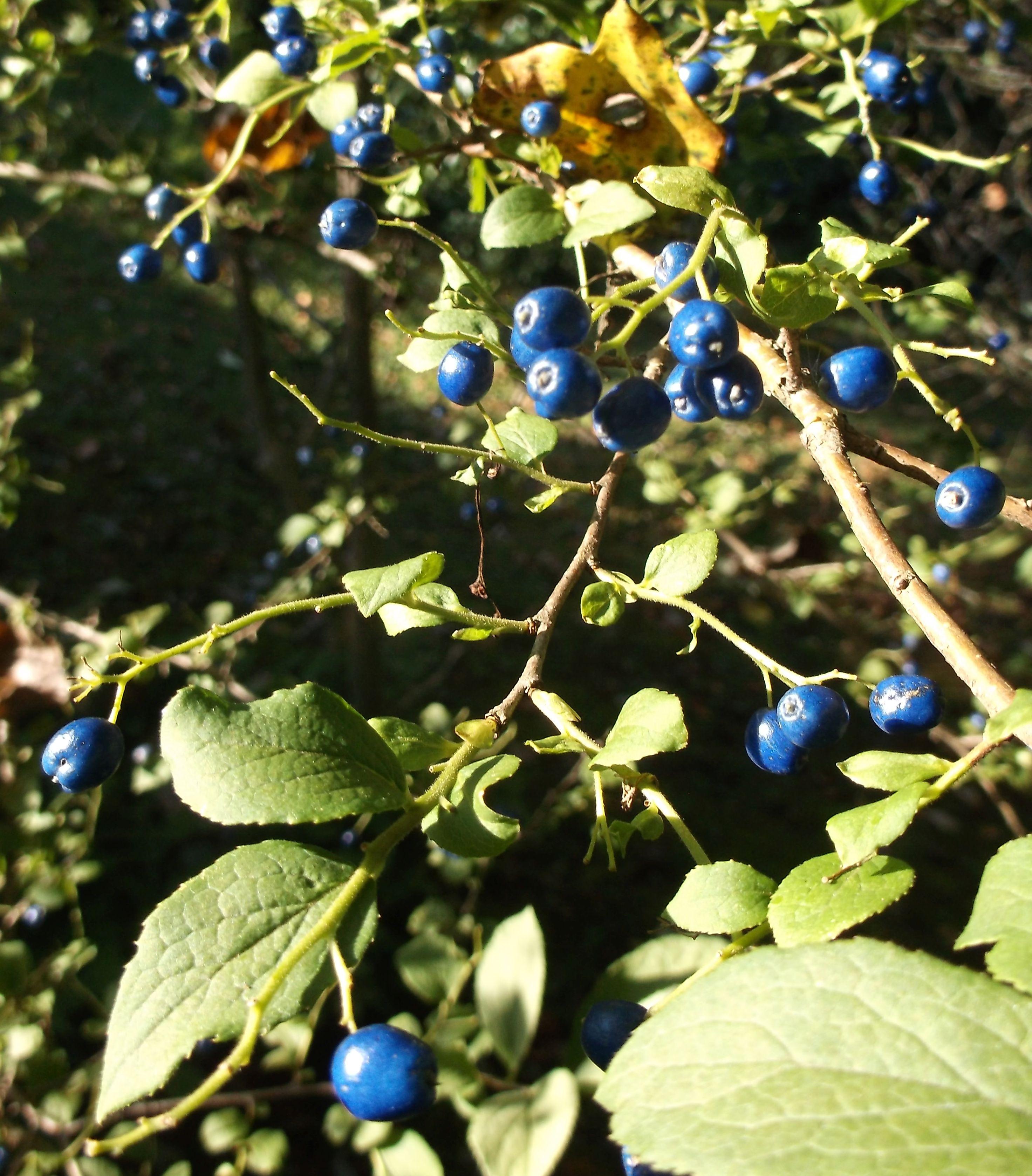 sapphire berry