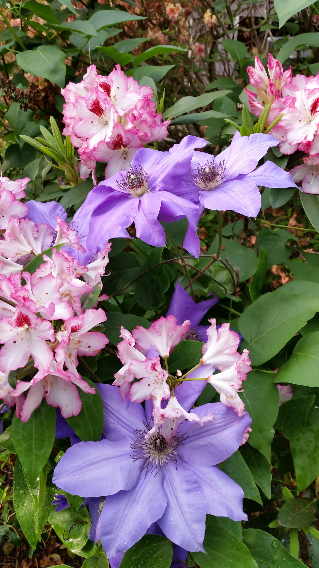 clematis and rhododendron