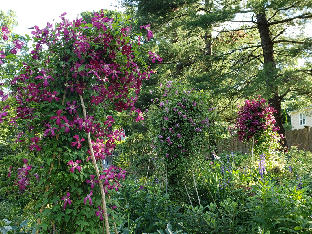 clematis on teepees