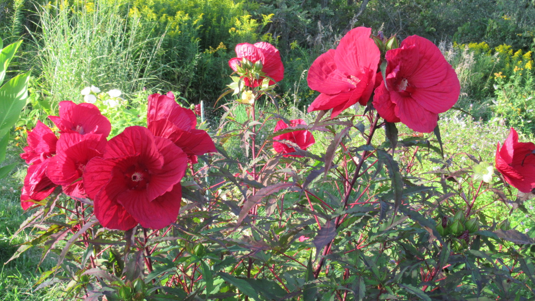 Hardy hibiscus 'Midnight Marvel'