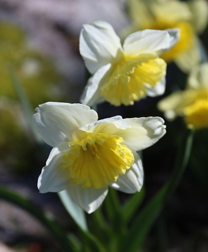 'Ice Follies' daffodil