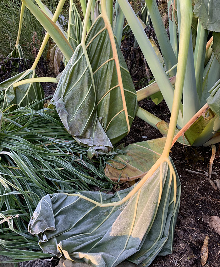 giant elephant's ear frost damage