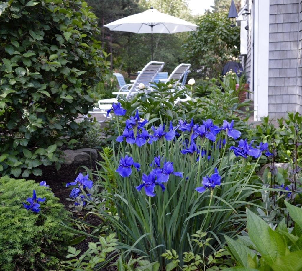 Siberian irises