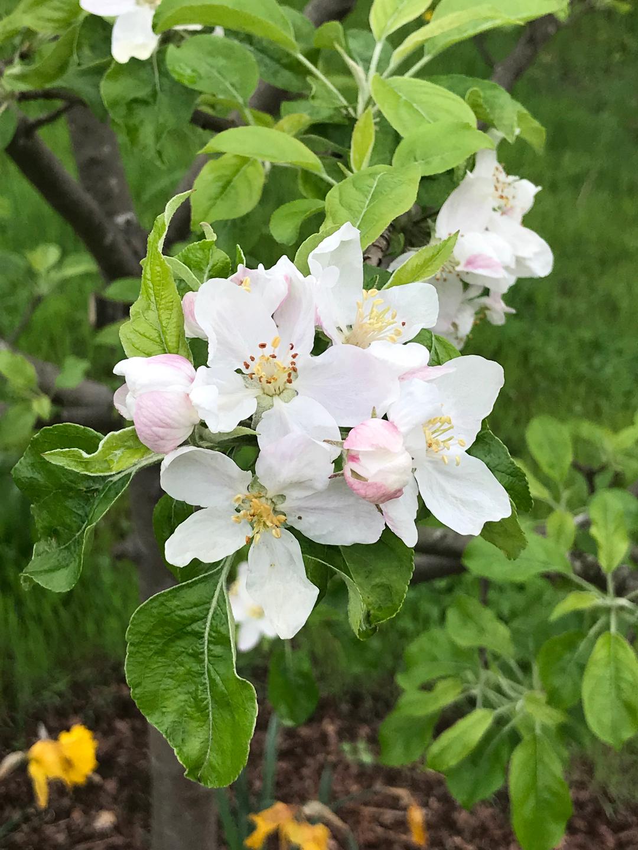 'Chehalis' apple blossoms