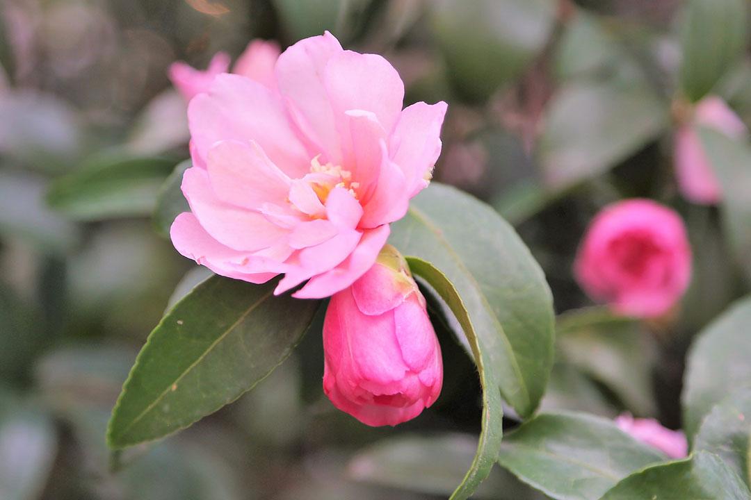 'Pink Snow'