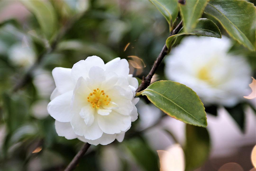 'Setsugekka' camellia