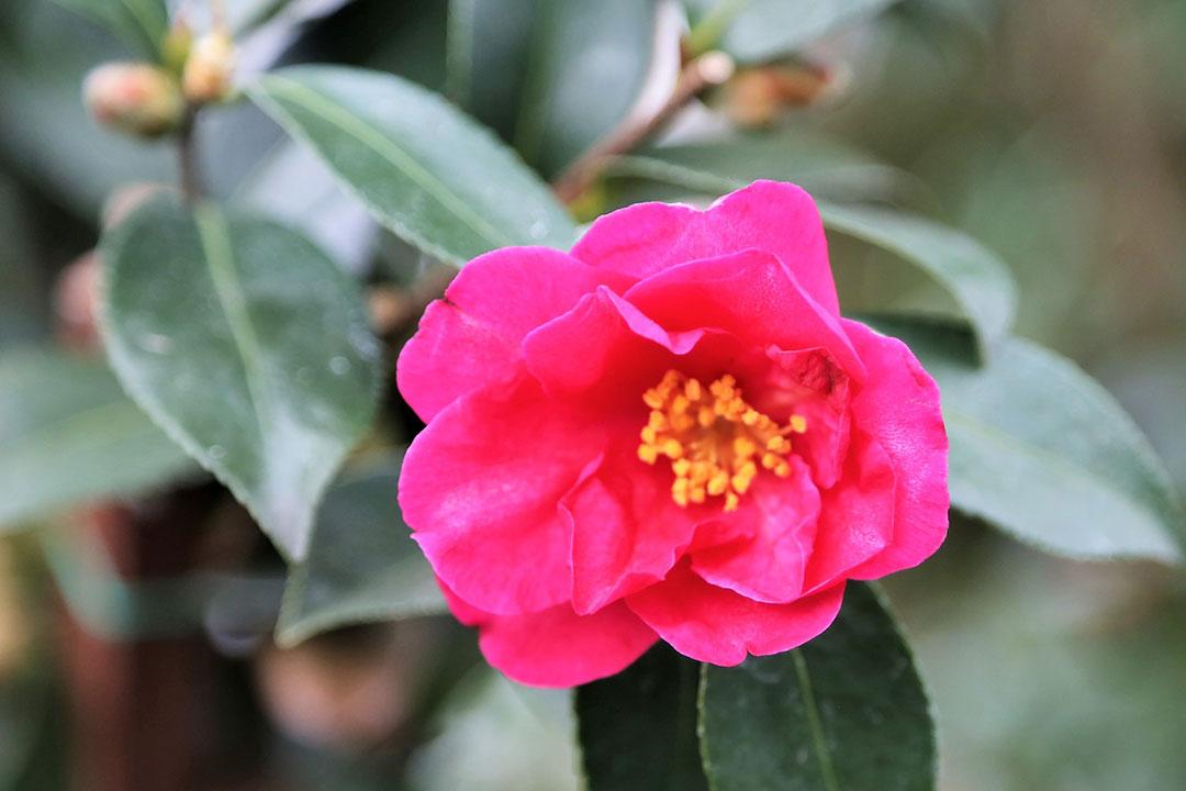 'Kanjiro' camellia