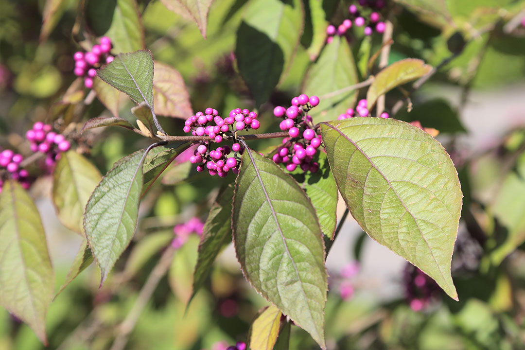 'Profusion' beautyberry berries